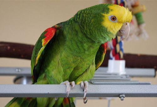 amazone perroquet