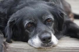 Comment doit manger un chien âgé ?