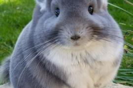 Comment nourrir son chinchilla ?