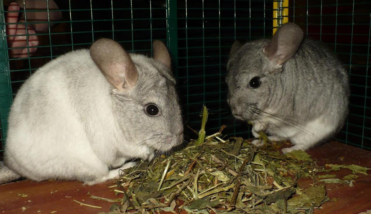 deux chinchillas qui mangent des feuilles seches