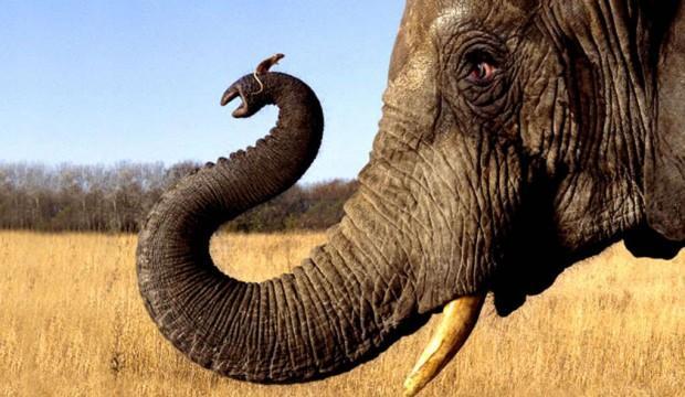 L'éléphant a-t-il peur de la souris ?
