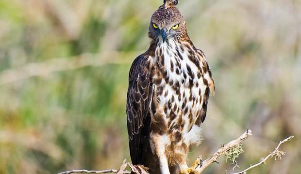 L'aigle huppé, un oiseau d'Afrique