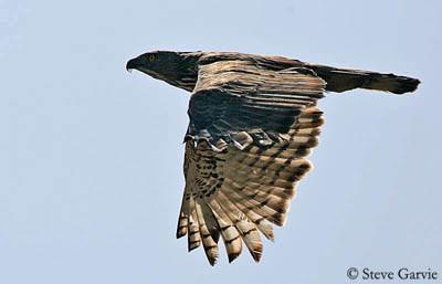 aigle huppé en plein vol