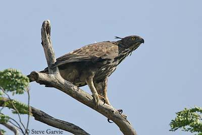 aigle huppé sur la cime d'un arbre