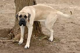 chien qui urine sur un arbre