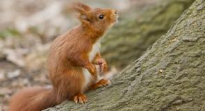 L'écureuil roux, sympathique animal agile et facétieux