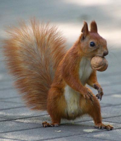 écureuil roux avec une noisette