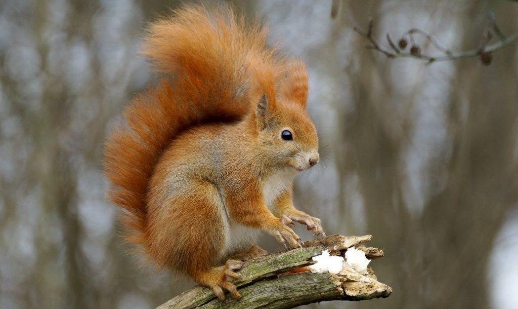 écureuil roux sur une branche