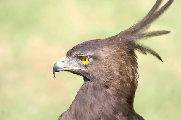 tête aigle huppé en gros plan