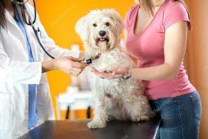 vérification de la respiration du chien par le vétérinaire