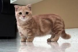 Faites la connaissance du Munchkin, le chat à l'éternelle apparence de chaton