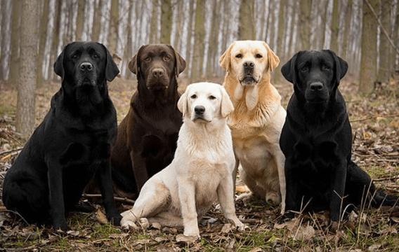 Le labrador, comment s'en occuper ?