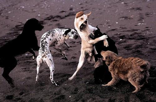 bagarre de chiens