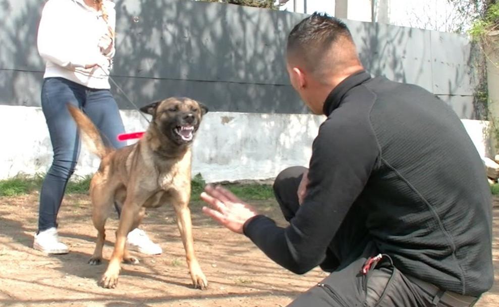 dressage chien agressif